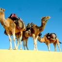 Camels in Desert ♥  © Nada Shu