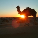 Camels in Desert © Nada Shu