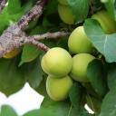 Apricots 5