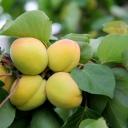 Apricots 4