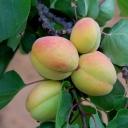 Apricots 3