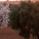 Almond tree and olive tree Tunisia