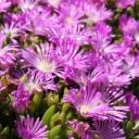Spring flowers, Sidi Bou Said, Tunisia